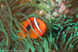 BD-151225-Apo-0085-Amphiprion-frenatus.-Brevoort.-1856-[Tomato-clownfish].jpg